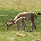 Ламы подарят универсальное средство против всех типов гриппа