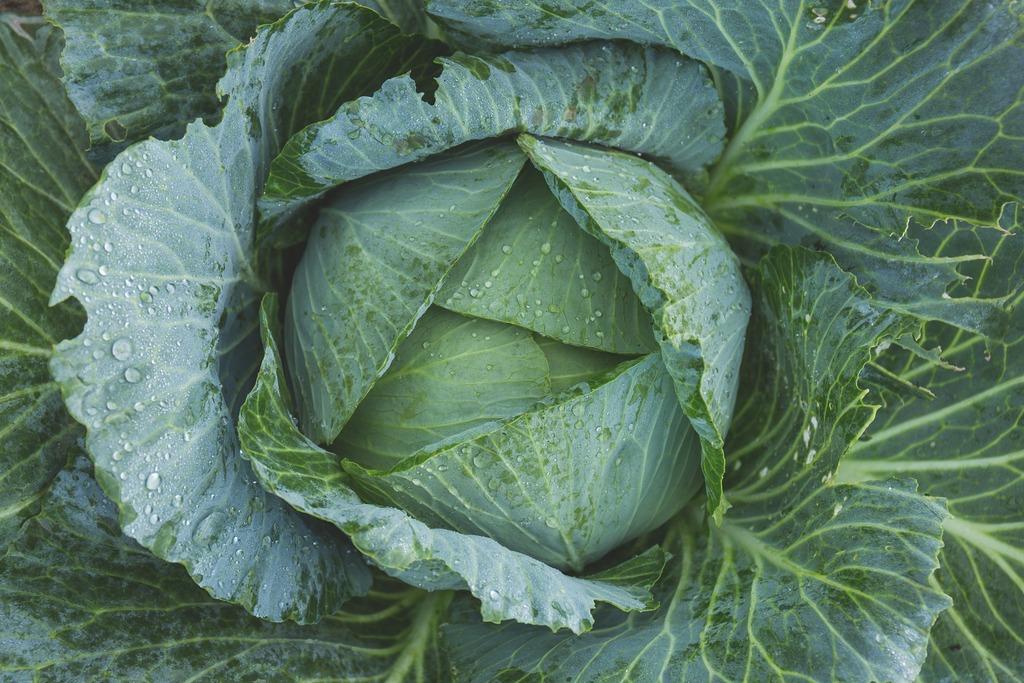 Онкологи рассказали, почему капуста так полезна для кишечника