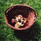 Съедобные грибы: польза и техника безопасности