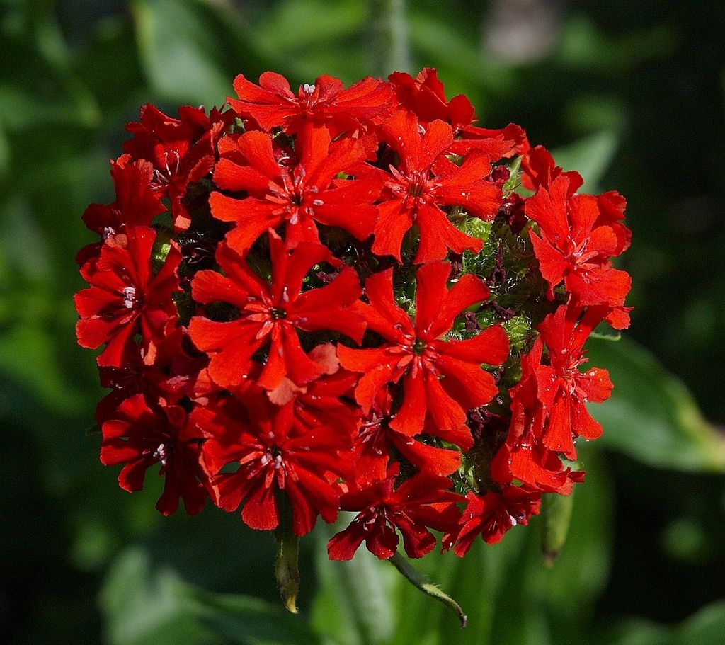 Томские ученые сделали из садового цветка лекарство от гастрита