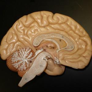 Как работает мозг человека: часть первая