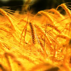 Человечество слишком молодо для пшеницы