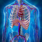 Как устроена кровеносная система человека?