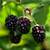 Бойзенова ягода контролирует астму