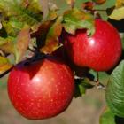 Яблоки помогают снижать уровень холестерина