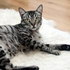 Создается вакцина против аллергии на кошек